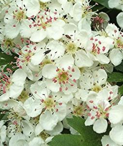 Crataegus monogyna, eetbare bloemen van de meidoorn