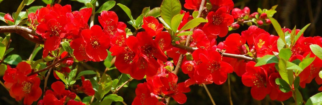 Eetbare bloemen van de Japanse kwee